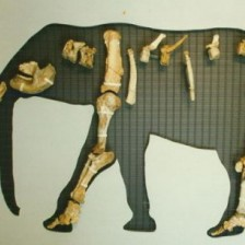 endemic_elephant__from_tilos_pleistocene_p1.jpg